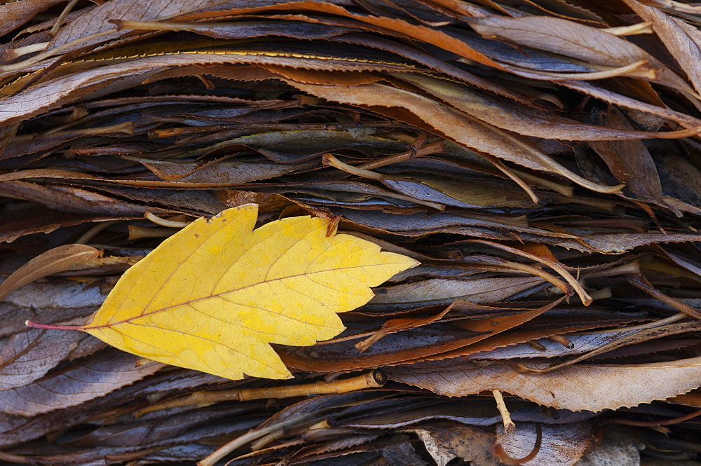 A single leaf on top of a pile of leaves in autumn, Wasatch Mountains, Utah, USA