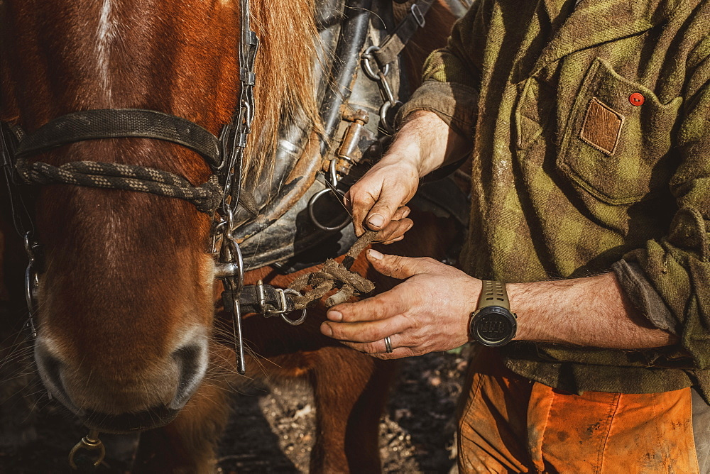 Close up of logger fastening the harness on one of his work horses, Devon, United Kingdom - 1174-8249