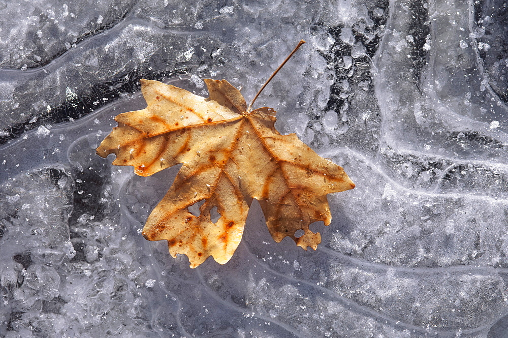 A maple leaf in autumn colours on ice, Wasatch Mountains, Utah, USA