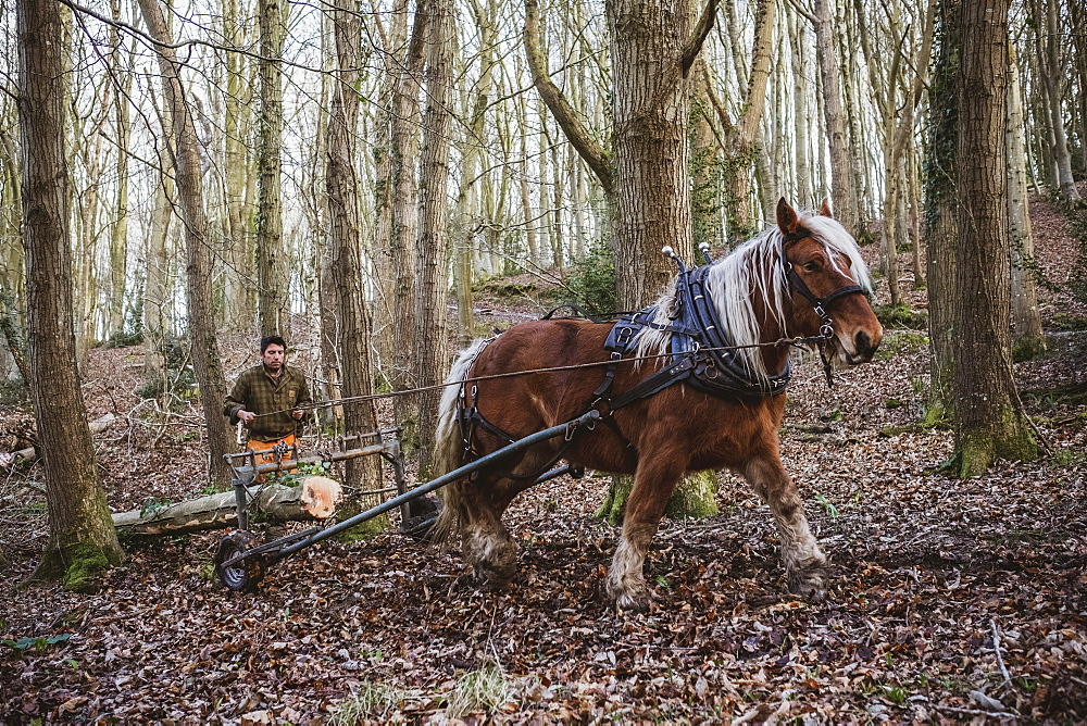 Logger driving work horse pulling a log forest, Devon, United Kingdom - 1174-8254