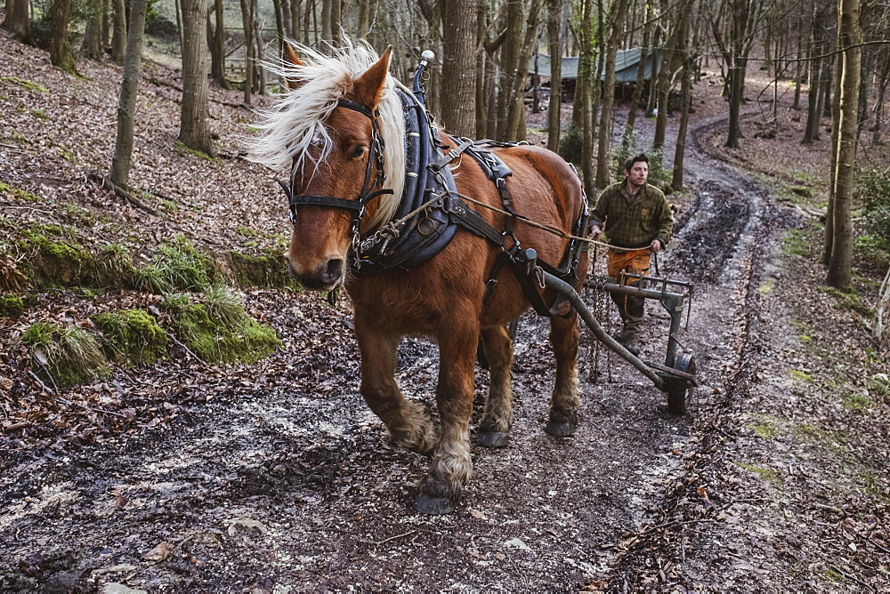 Logger driving work horse pulling a log forest, Devon, United Kingdom - 1174-8255