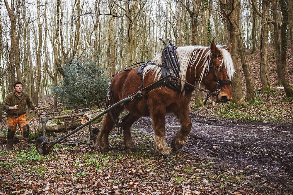 Logger driving work horse pulling a log forest, Devon, United Kingdom - 1174-8256