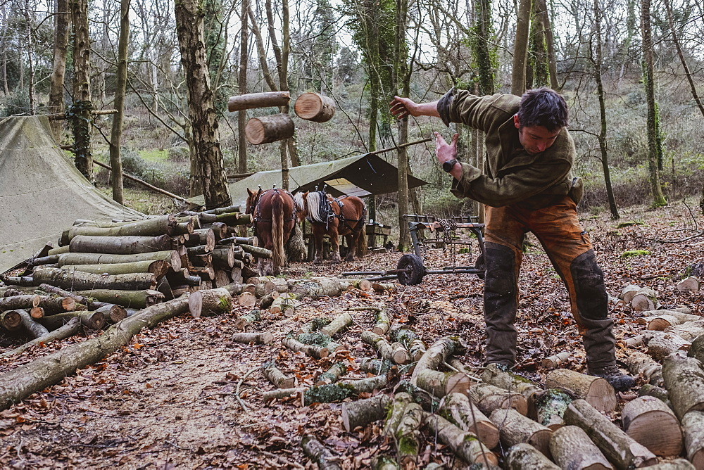 Logger working in a camp in a forest, throwing logs of wood onto heap, Devon, United Kingdom - 1174-8258