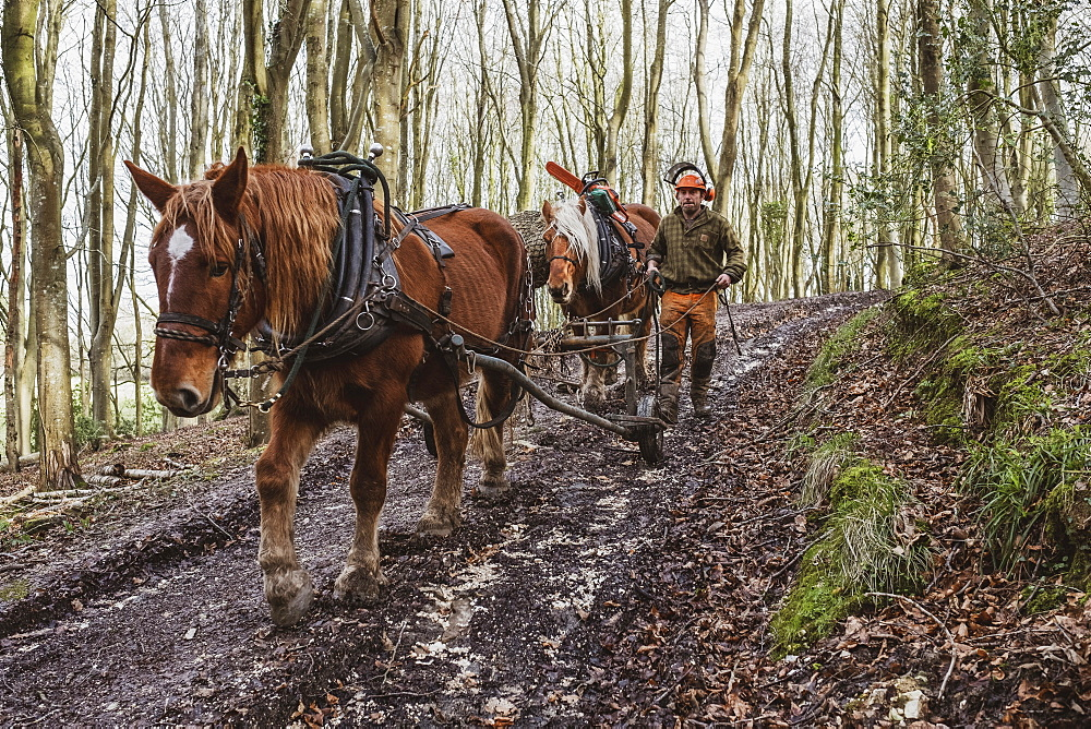 Logger driving work horse pulling a log forest, Devon, United Kingdom - 1174-8263