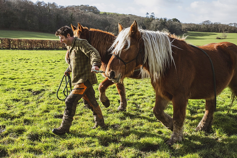 Man leading two brown work horses across a meadow, Devon, United Kingdom