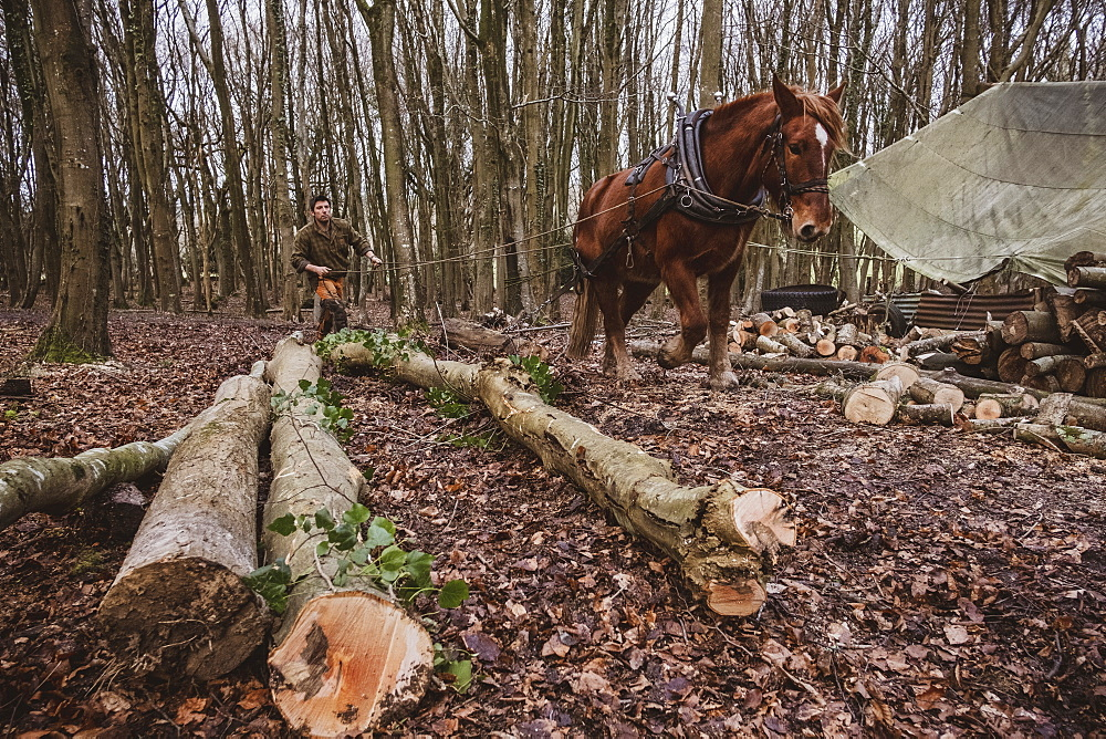 Logger driving work horse pulling a log forest, Devon, United Kingdom - 1174-8266