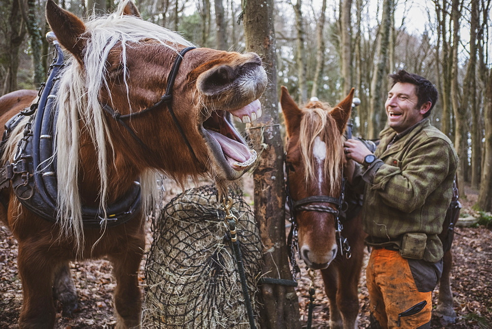 Logger standing in a forest camp with two of his work horses, laughing while one horse is neighing, Devon, United Kingdom - 1174-8268