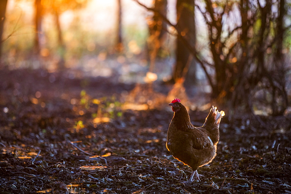 A free range chicken in woodland in early morning light
