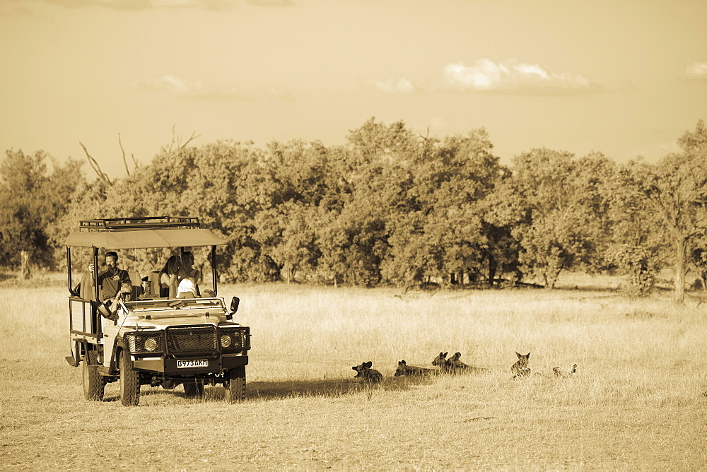 A safari jeep, passengers observing wild dogs, Lycaon pictus, Moremi Game Reserve, Botswana
