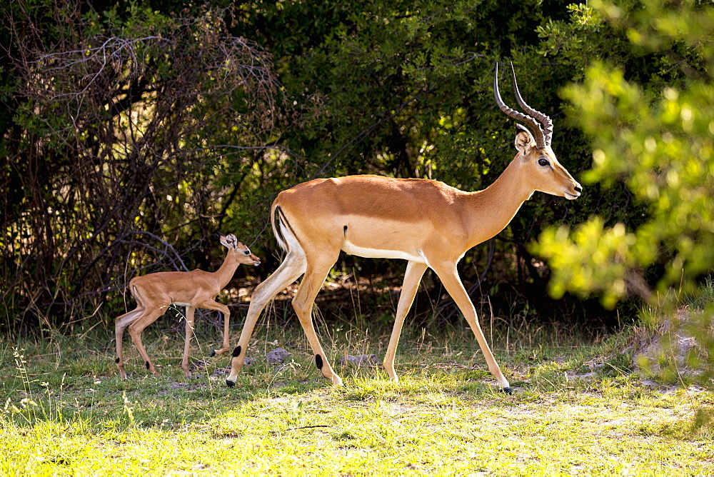 An impala and young calf, Aepyceros melampus on the edge of woodland, Moremi Game Reserve, Botswana