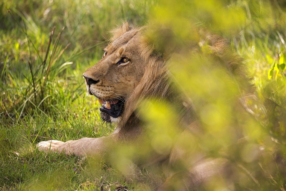 A large male lion, Panthera leo, resting, Moremi Game Reserve, Botswana