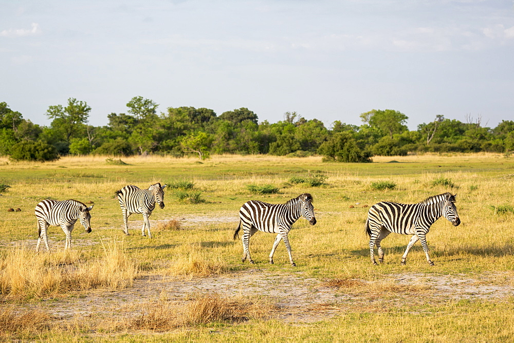 Four Burchell's Zebra on dry grassland, Moremi Game Reserve, Botswana