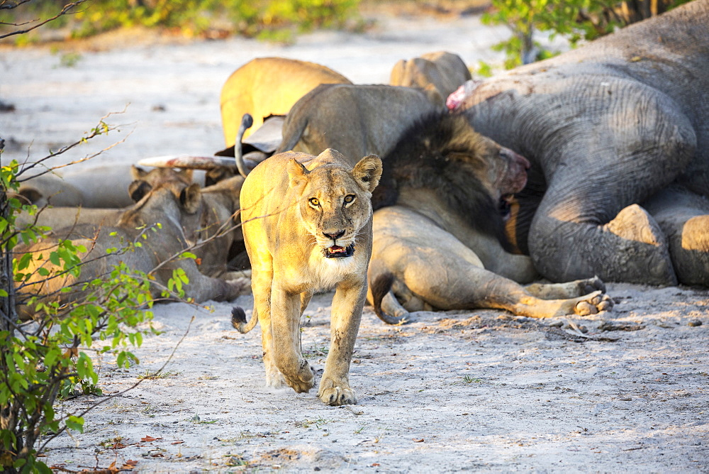 Adult lions feasting on a dead elephant carcass in a game reserve, Moremi Game Reserve, Botswana