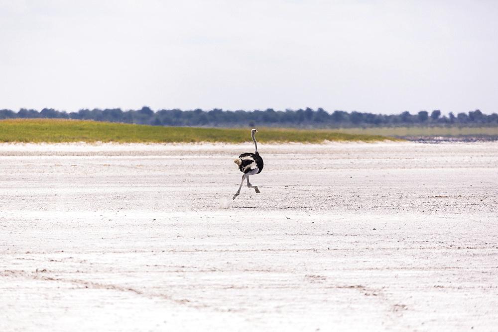 Ostrich running on Nxai Pan, Botswana