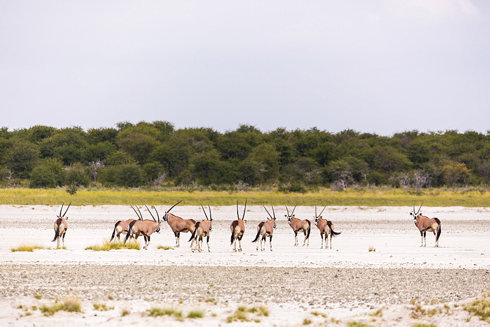 Oryx herd crossing a salt pan