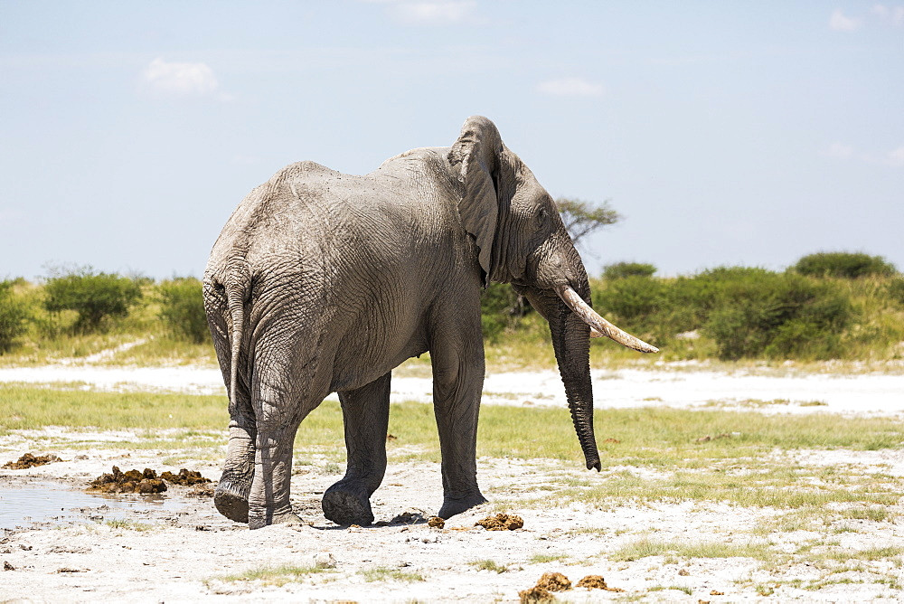 An elephant with tusks in Nxai Pan, Botswana