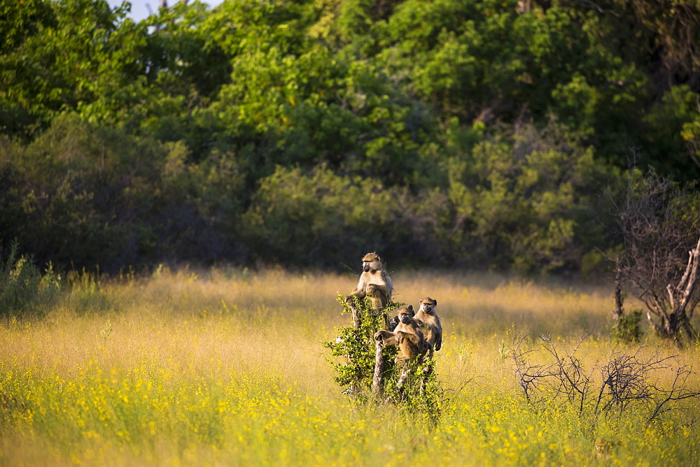 monkeys on tree branch at sunset, Botswana