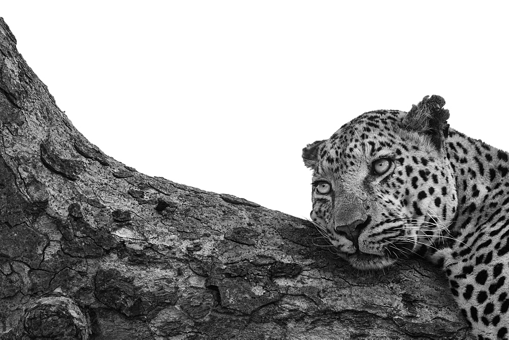 A leopard, Panthera pardus, lies down on a branch, looking out of frame, black and white, whited out background, Sabi Sands, Greater Kruger National Park, South Africa