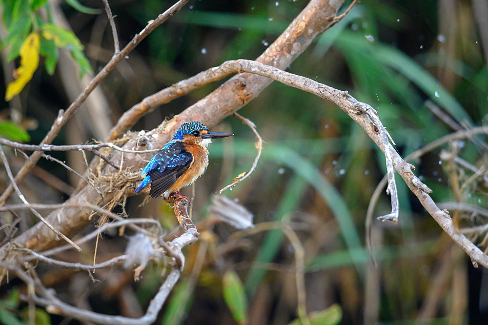 A juvenile malachite kingfisher, Corythornis cristatus, perches on a branch, looking out of frame, Sabi Sands, Greater Kruger National Park, South Africa