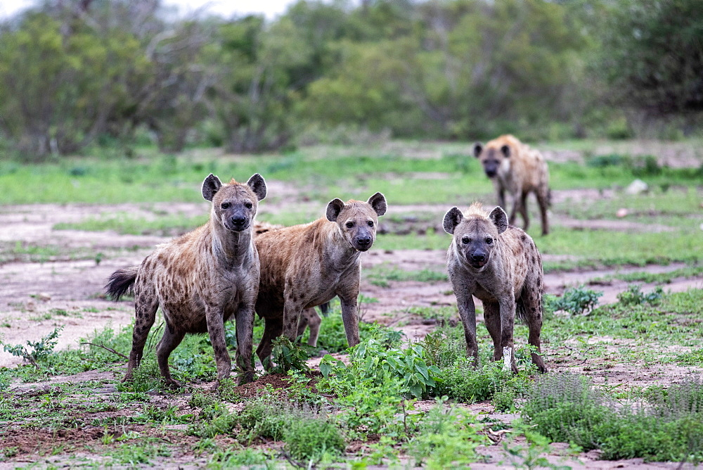 A clan of hyenas, Crocuta crocuta, stand together, direct gaze, ears forward, greenery background, Sabi Sands, Greater Kruger National Park, South Africa