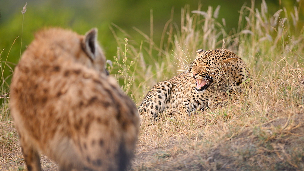 A leopard, Panthera pardus, lies in grass and snarls at a hyena, Crocuta crocuta, Sabi Sands, Greater Kruger National Park, South Africa