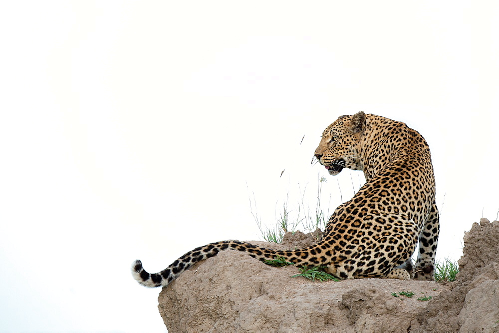 A leopard, Panthera pardus, sits on a termite mound, looking over shoulder, looking out of frame, white background, Sabi Sands, Greater Kruger National Park, South Africa