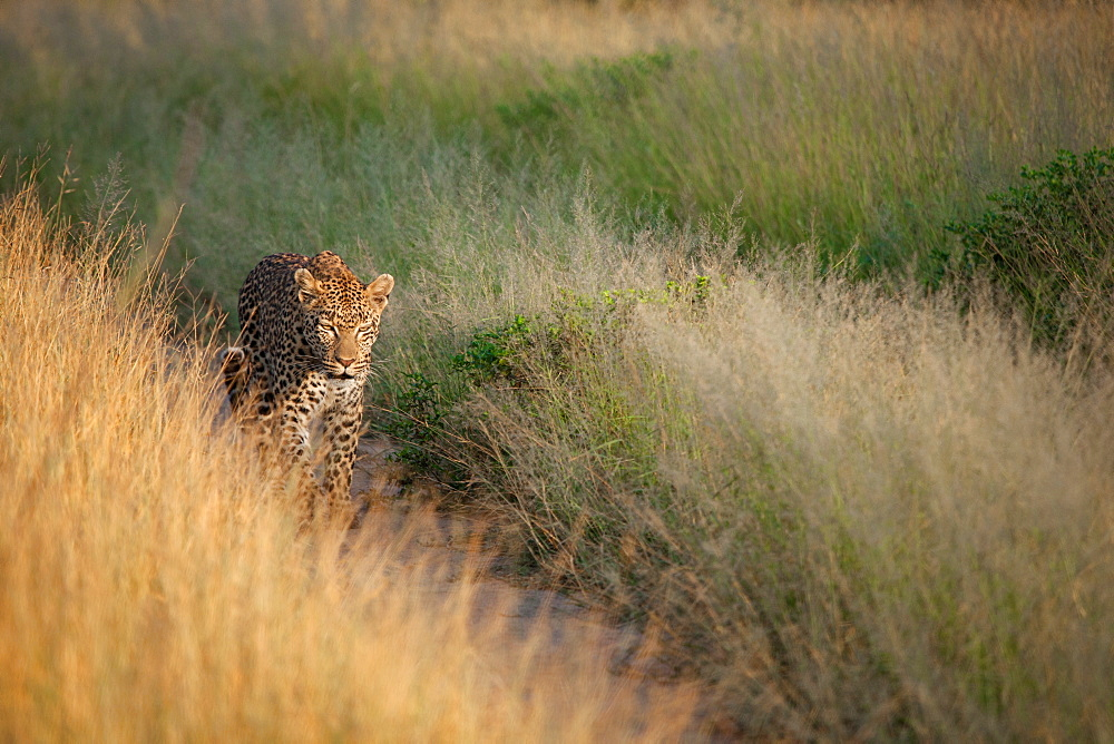 A leopard, Panthera pardus, walks down a road track, framed by grass, walking towards camera, Sabi Sands, Greater Kruger National Park, South Africa