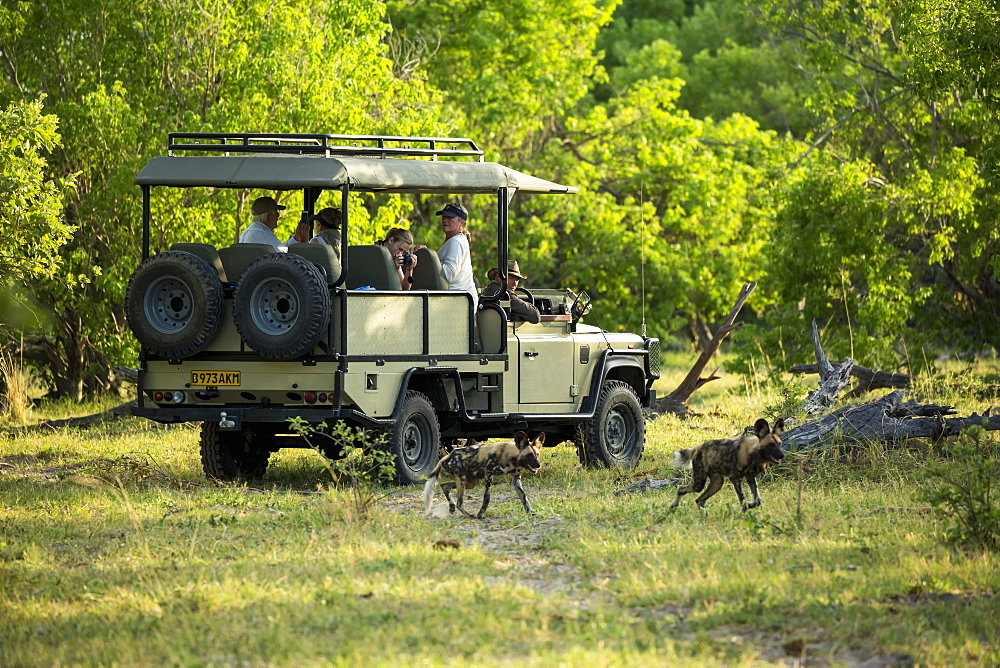 Passengers in a safari jeep observing a pack of wild dogs in woodland, Okavango Delta, Botswana