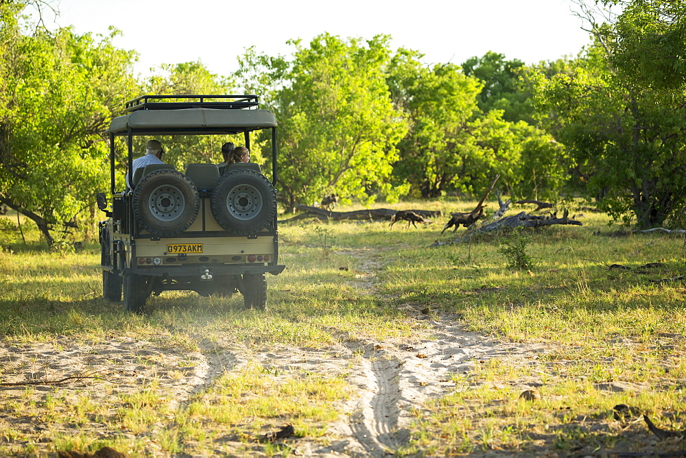 Tourists in a safari jeep observing a pack of wild dogs in woodland, Okavango Delta, Botswana
