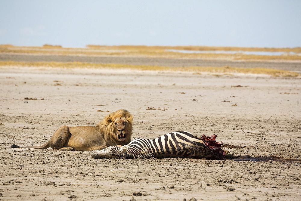 An adult male lion and a kill, a dead Burchell's Zebra, Kalahari Desert, Botswana