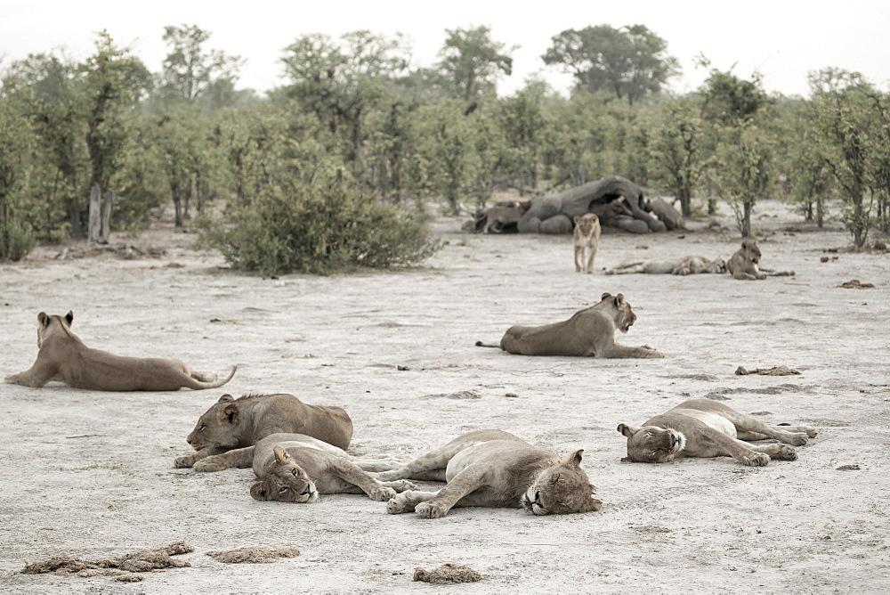 A pride of lions resting after feeding on a dead elephant, Okavango Delta, Botswana