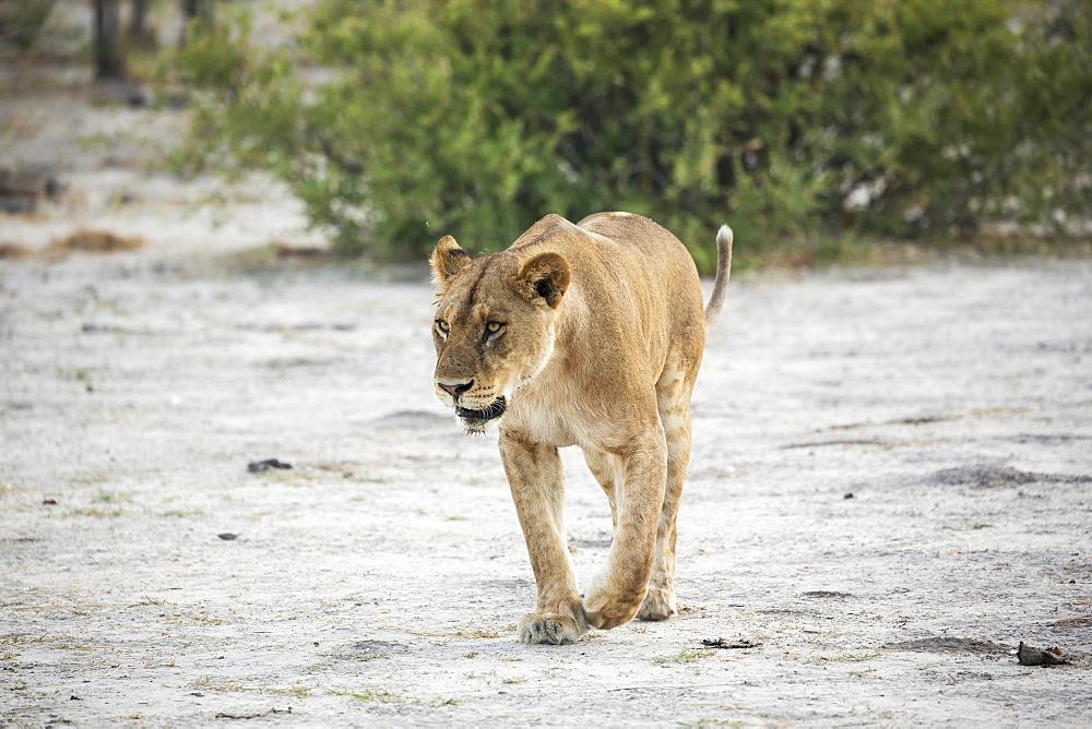 An adult female lion, Okavango Delta, Botswana