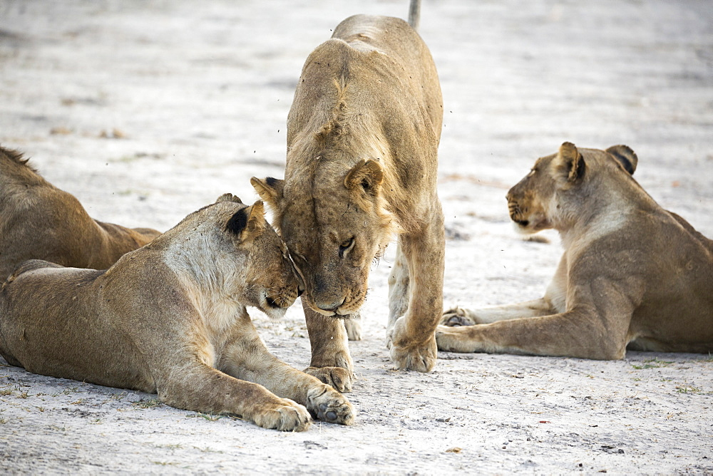 A pride of female lions, Okavango Delta, Botswana