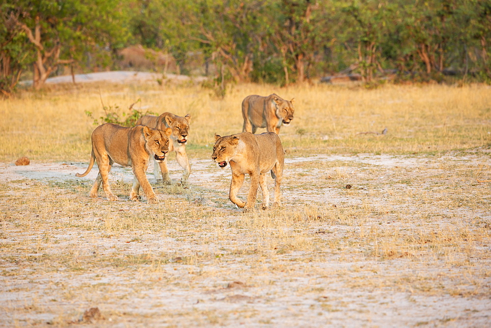 A pride of female lions walking across open space at sunset, Okavango Delta, Botswana