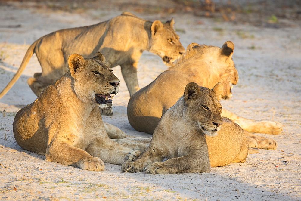 A pride of female lions lying resting at sunset, Okavango Delta, Botswana