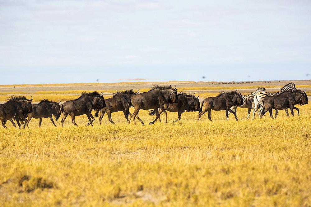 A herd of wildebeests in the Kalahari Desert