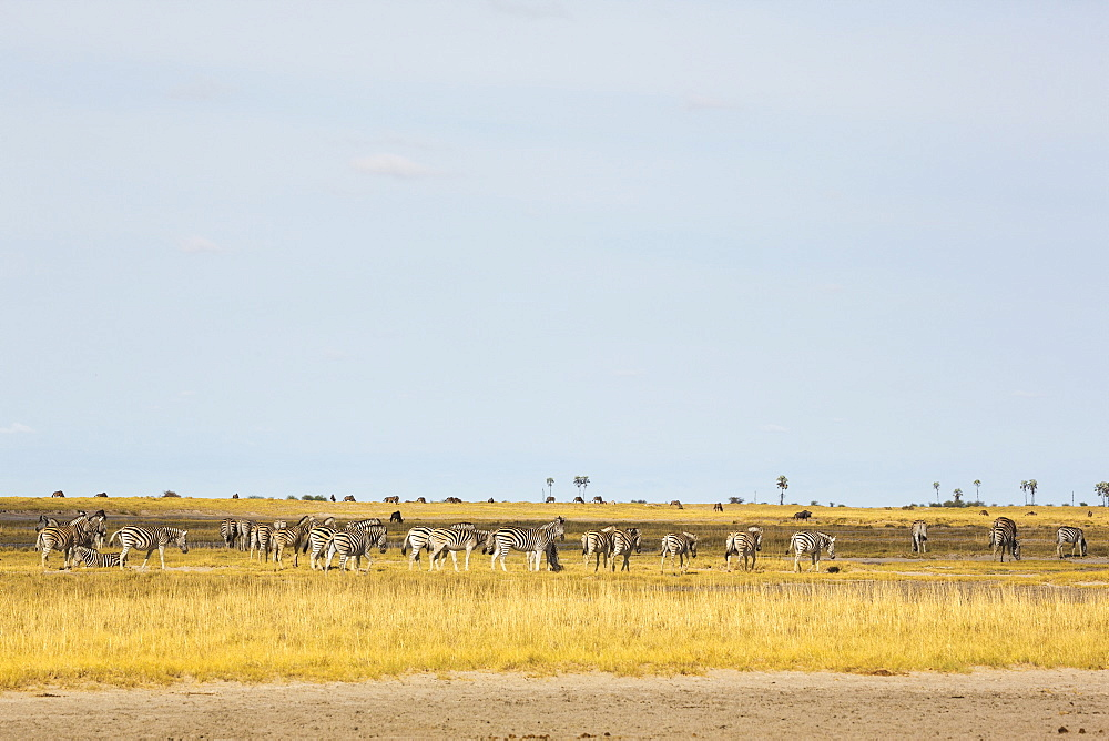 A large herd of Burchell's Zebra grazing, Kalahari Desert