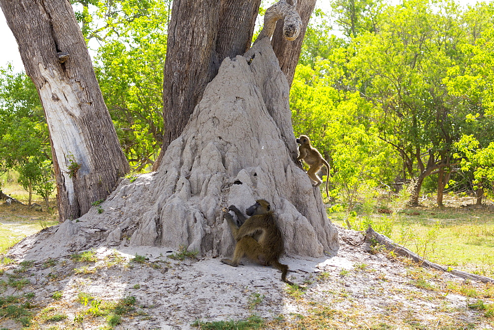 A family of baboons under the trees near a termite mound in a game reserve