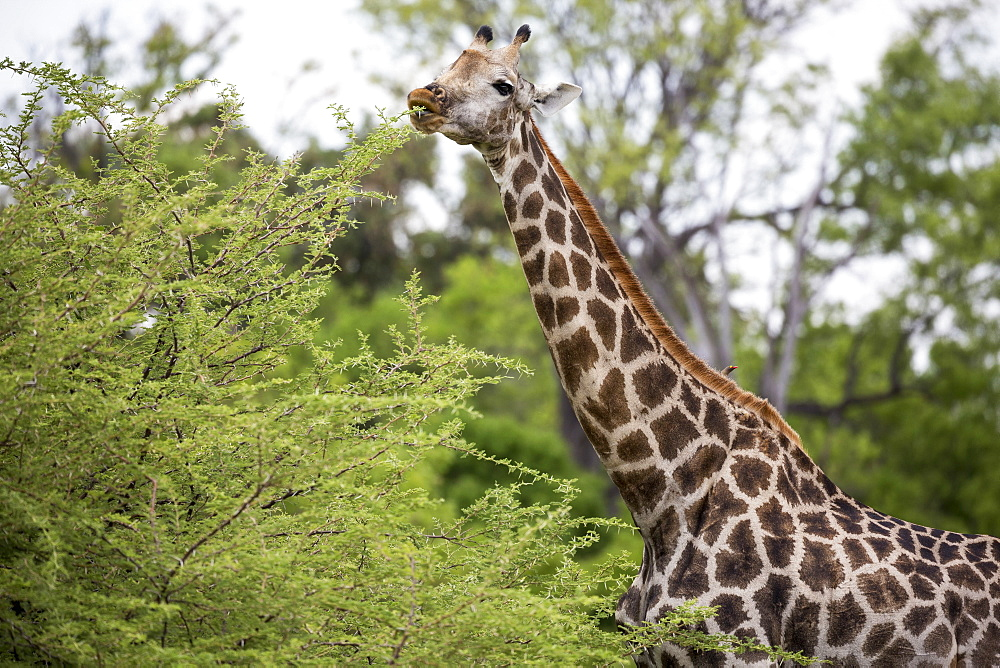 giraffe, Moremi Game Reserve, Botswana