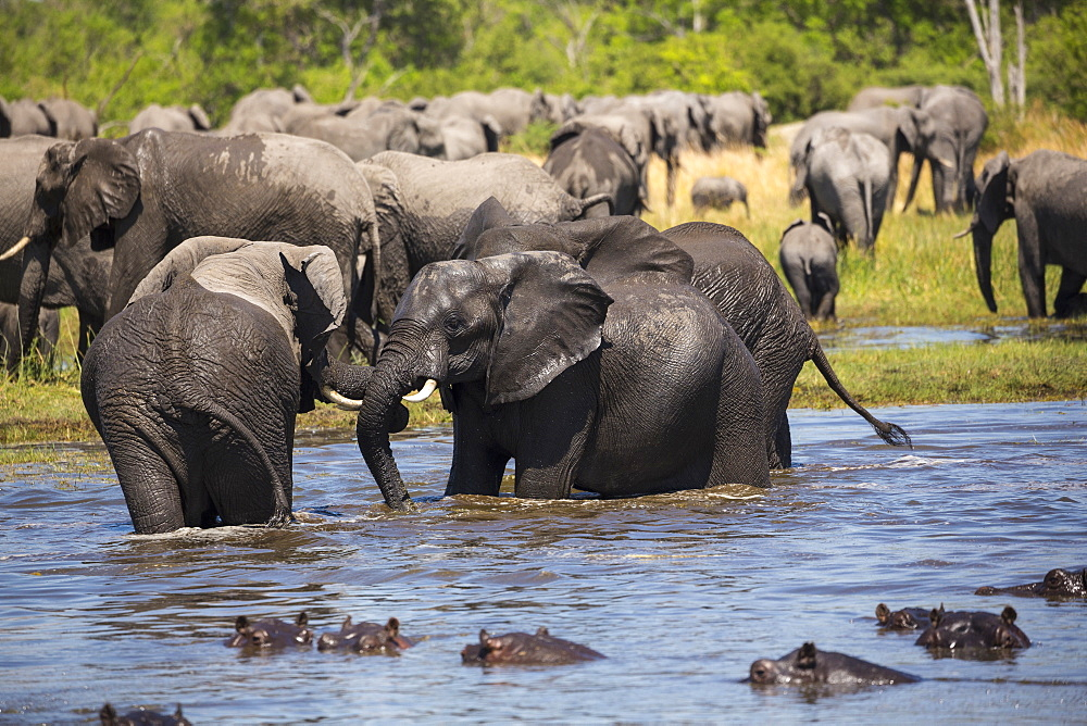 A group of hippopotamus in the water and a herd of elephants gathering at water hole