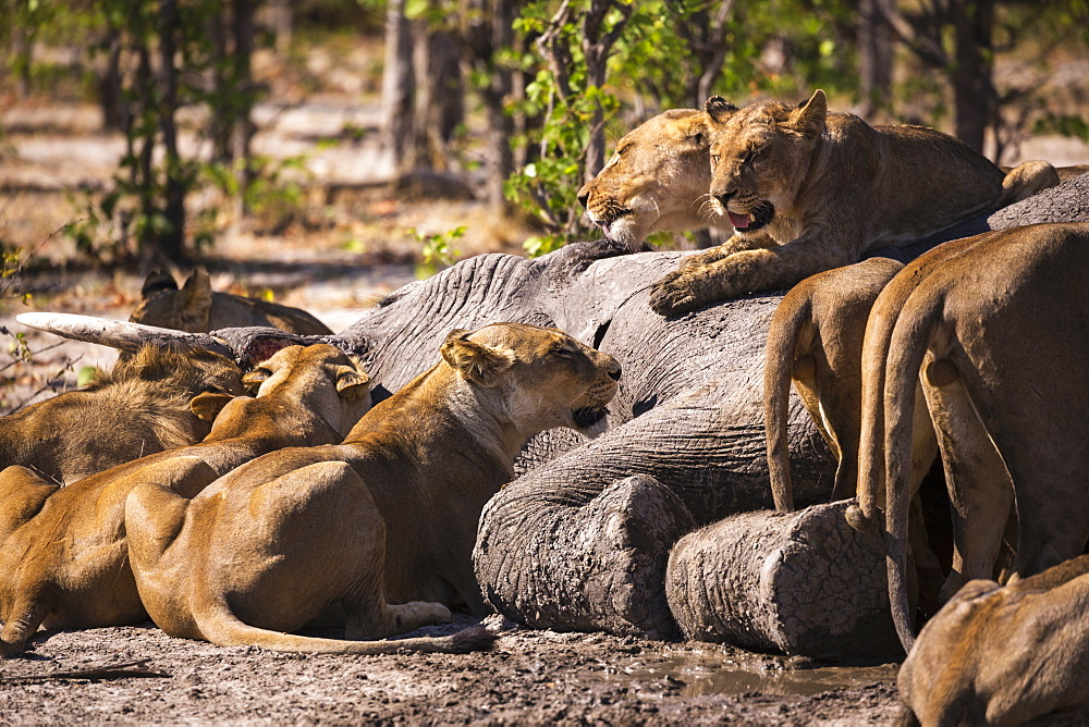 A group of female lions feeding on a dead elephant in a game reserve