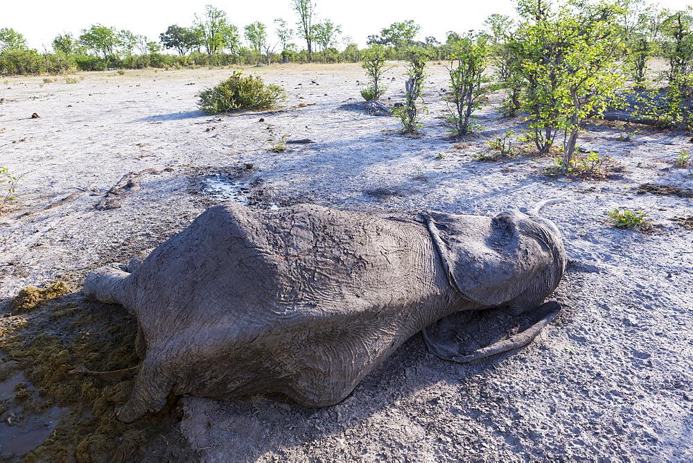 A dead elephant carcass lying in the bush