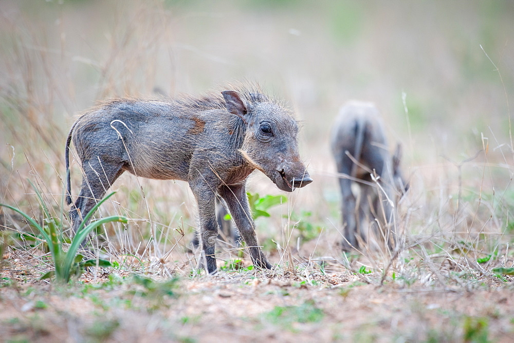 A warthog piglet, Phacochoerus africanus, stands in short grass, ears back, Sabi Sands, Greater Kruger National Park, South Africa