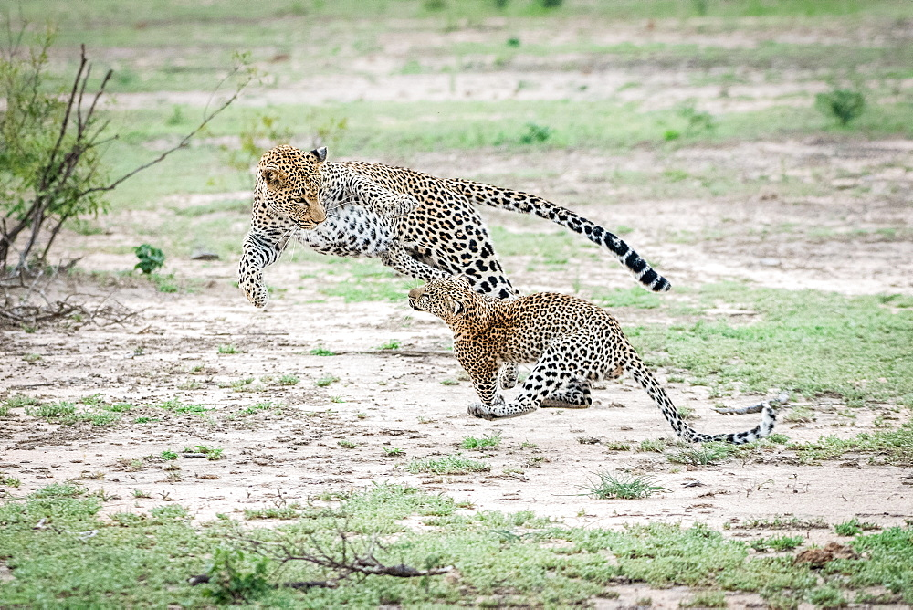 A mother leopard, Panthera pardus, jumps and plays with her cub, both jumping in the air, Sabi Sands, Greater Kruger National Park, South Africa