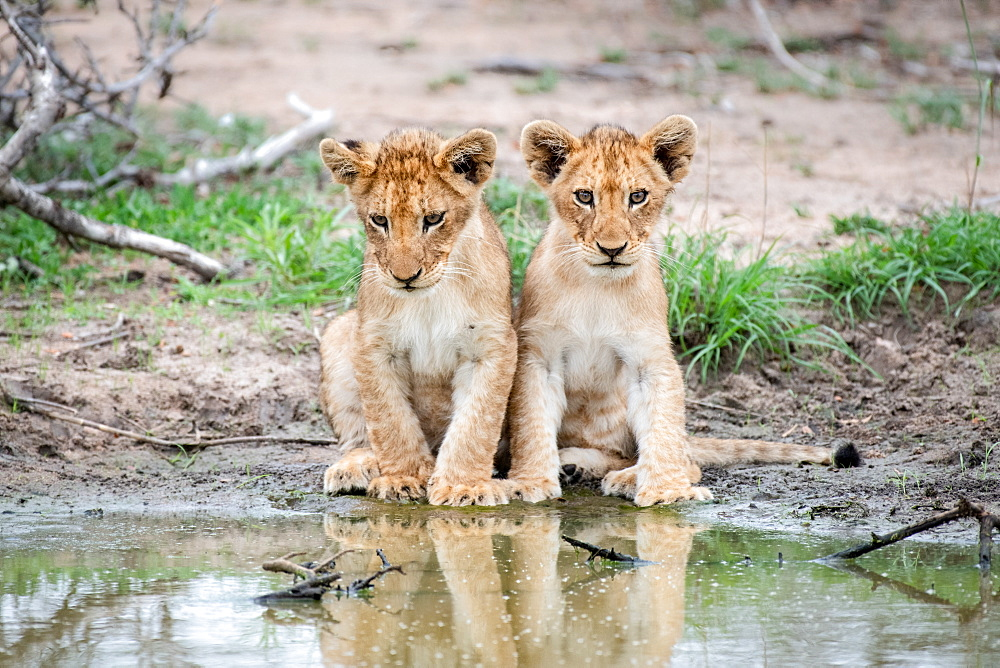 Two lion cubs, Panthera leo, sit together at the edge of a water hole, reflections in water, Sabi Sands, Greater Kruger National Park, South Africa