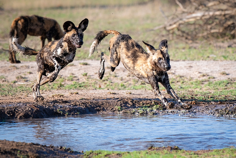 Two wild dog, Lycaon pictus, follow each other and jump over and into a water pan, muddy legs, Sabi Sands, Greater Kruger National Park, South Africa