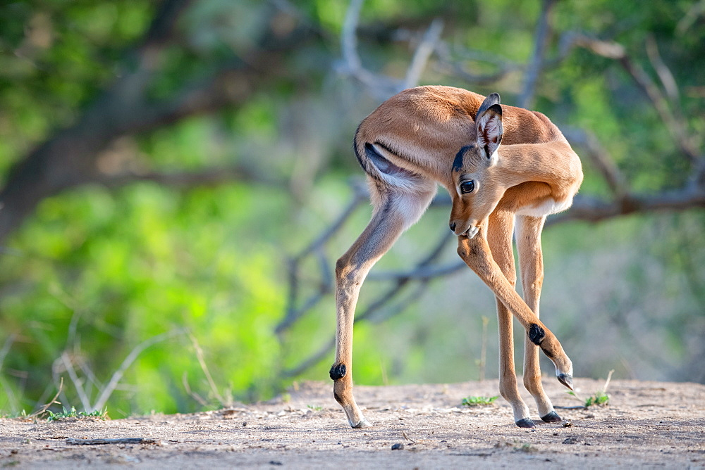An impala calf, Aepyceros melampus, turns and licks its hind leg, hind leg raised, Sabi Sands, Greater Kruger National Park, South Africa