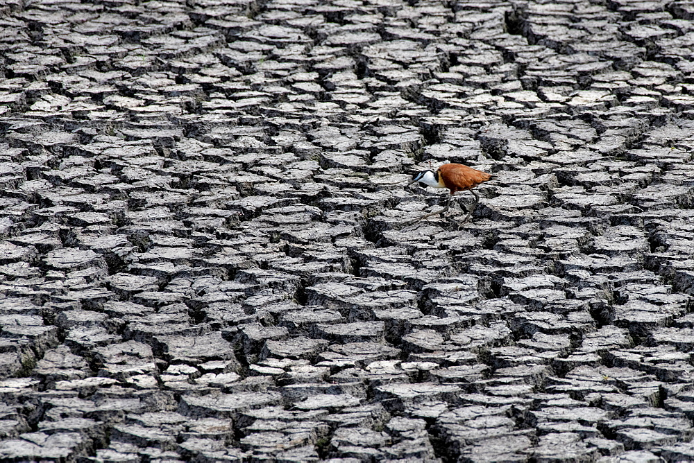 An African jacana, Actophilornis africanus, walks in dry cracked mud, Sabi Sands, Greater Kruger National Park, South Africa