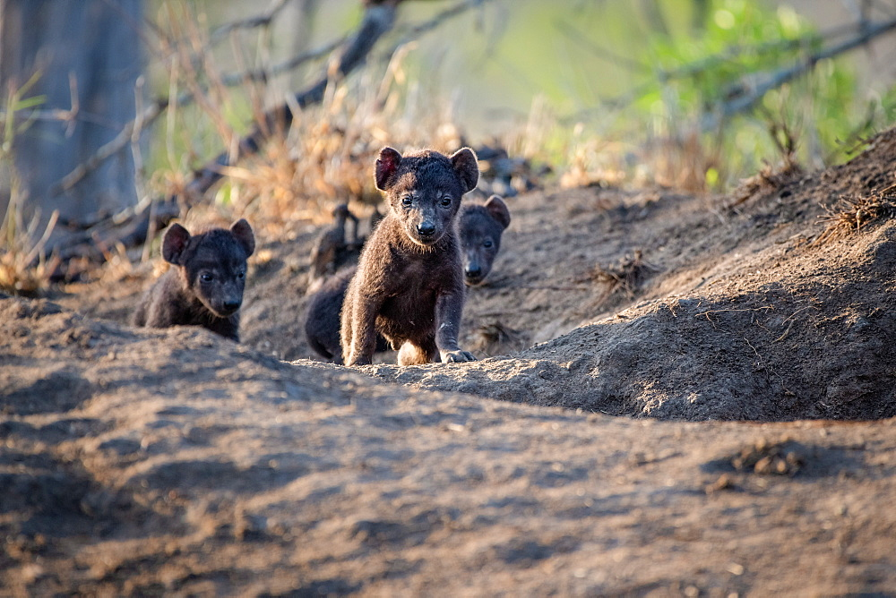 Hyena cubs, Crocuta crocuta, walk out of their den site, ears perked up in the sunlight, Sabi Sands, Greater Kruger National Park, South Africa
