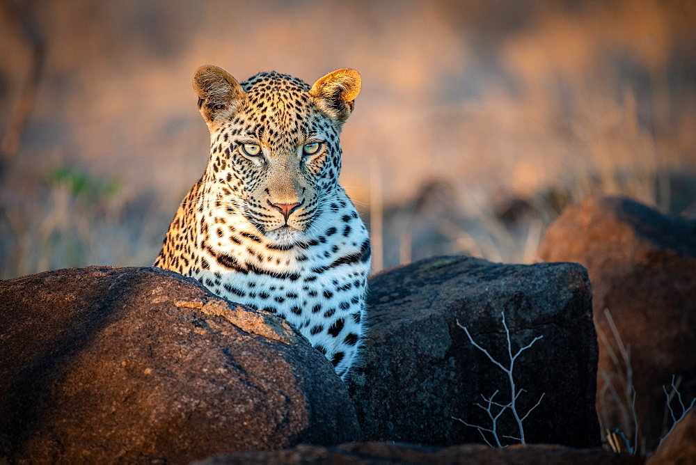 A leopard, Panthera pardus, ears forward, Sabi Sands, Greater Kruger National Park, South Africa